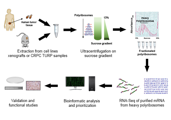 Schematic of workflow for translatome analysis of human xenografts and patient samples. LP: Light polyribosomes; HP: Heavy polyribosomes.